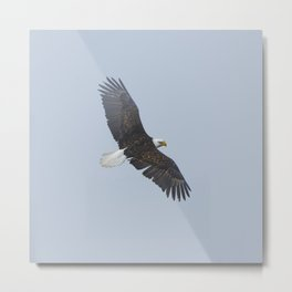 Soaring - Bald Eagle and Blue Sky Metal Print