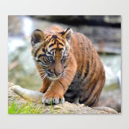 Curious Kinleigh Canvas Print