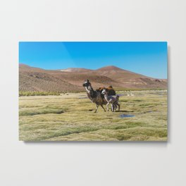 Mother and Baby Llama in Bolivia Metal Print