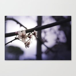 Blooming Plum Canvas Print