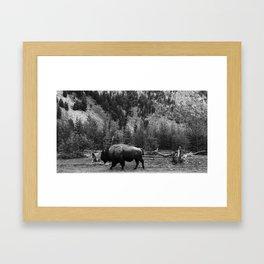 Bison Roaming in Black & White Framed Art Print