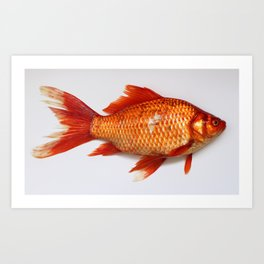 Red Gold Fish Art Print