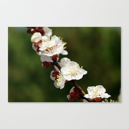 A Sprig of Apricot Blossoms 1 Canvas Print