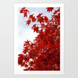 Maple Canopy Art Print