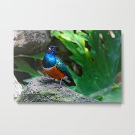 A Stunning African Superb Starling Metal Print
