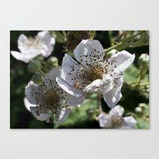 Blackberry Blossom Canvas Print
