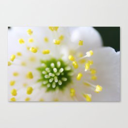 Close up of wood anemone Canvas Print