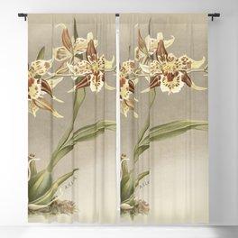 Oncidium jonesianum Oncidium jonesianum haeanthum from Reichenbachia Orchids (1888-1894) illustrated Blackout Curtain
