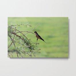 Swallow on Acacia Metal Print
