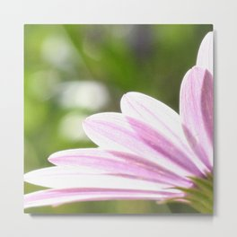 Pink African Daisy in the Light Metal Print