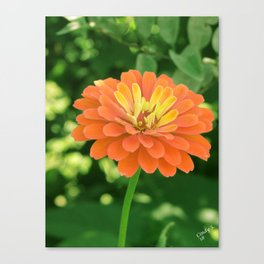 Summer Zinnia Canvas Print