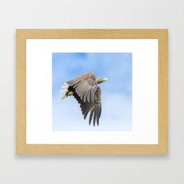White Tailed Sea Eagle Framed Art Print