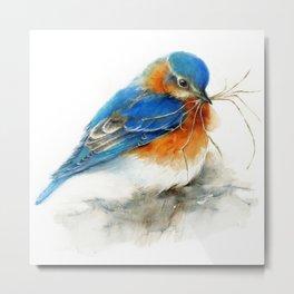 Eastern Bluebird Nesting Metal Print