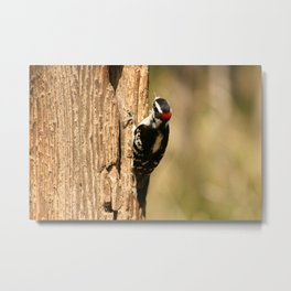 Downy Woodpecker on the Trunk of a Tree Metal Print