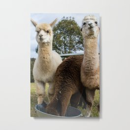 Alpaca Lunchtime Metal Print