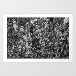 Black And White Pear Tree Blooming Art Print