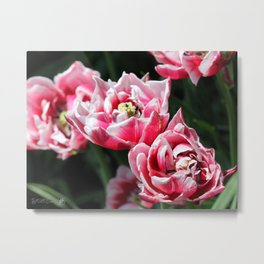 Double Late Peony-Flowered Tulip named Horizon Metal Print
