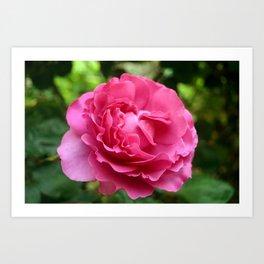 Queen Elizabeth Rose Art Print