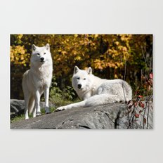 Arctic Wolf On Rocks Canvas Print
