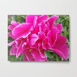 Red summer peony flower Metal Print