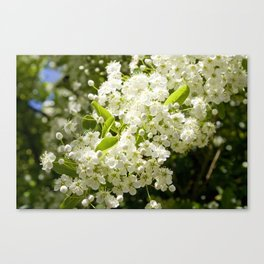 Summer White blossom Canvas Print