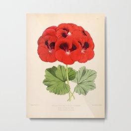 Pelargonium Edward Perkins Vintage Floral Scientific Illustration Metal Print