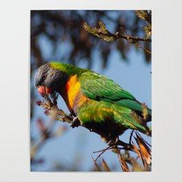 Rainbow Lorikeet Poster