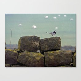 Pied wagtail in the rain Canvas Print