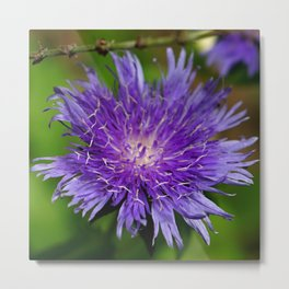 Knapweed Metal Print