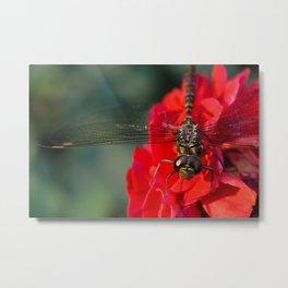 Dragonfly on dahlia Metal Print