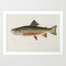Male brook trout (Salvelinus Fontinalis) illustrated by Sherman F. Denton (1856-1937) from Game Bird Art Print