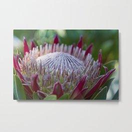 King Protea Island Flowers Jewel of the Garden Metal Print