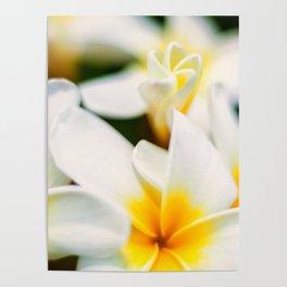 Plumeria Bloom Poster
