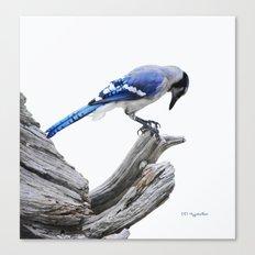 Blue Jay II Canvas Print