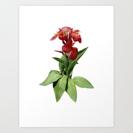 Red Canna Lily Art Print