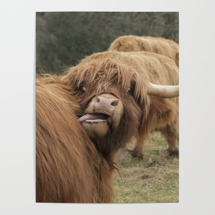 Funny Scottish Highland Cow Poster By Halztalz Society6