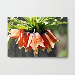 Fritillaria imperialis Metal Print