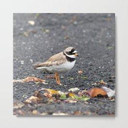 Watercolor Bird, Ruddy Turnstone 03, Heimaey, Iceland Metal Print