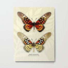 Butterfly14_Papilio Antimachus • male pair Metal Print