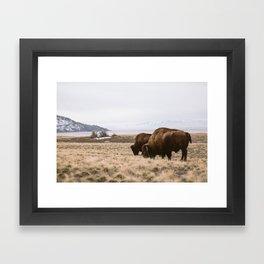 Bison sharing the feed Framed Art Print