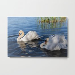 Swan Art. Two Beautiful Swans with Fluffy Wings on the Lake Metal Print