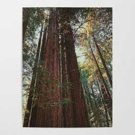 Redwood Trees Poster