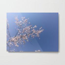 Cherry Blossoms/Sakura (Japan)--2015 Metal Print