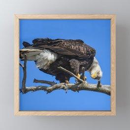 Alaskan Adult Bald_Eagle - Quizzical Framed Mini Art Print