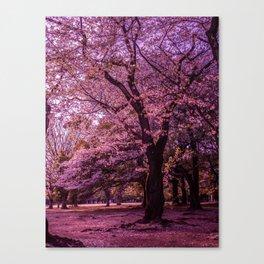 Sakura blooming Canvas Print