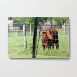 Cow Beyond the Fence Metal Print