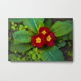 Bright red flower with yellow center Metal Print