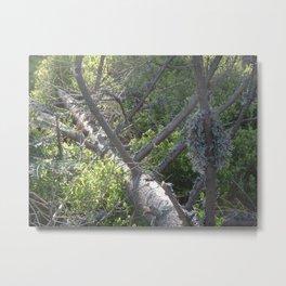 Lichen on windbreak tree Metal Print