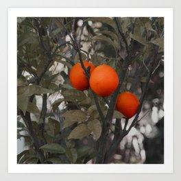Three oranges on an orange tree Art Print