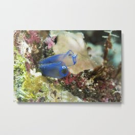 Blue Sea Squirt Metal Print